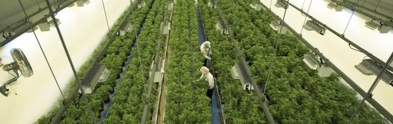 How To Grow Legal Cannabis‎ under the Cannabis Act in Quebec ?